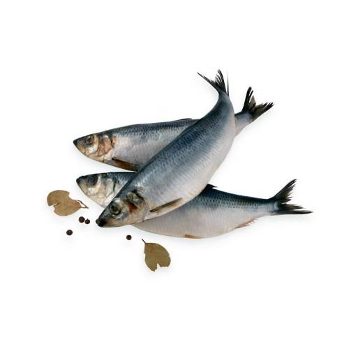Silkė atlantinė su galva Bajorų žuvis